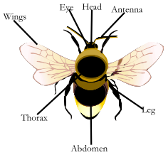 Diagram of a bumblebee