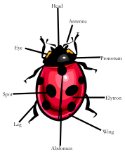 Diagram of a ladybird